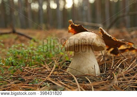 Small Porcini Mushroom Growing In Forest, Closeup