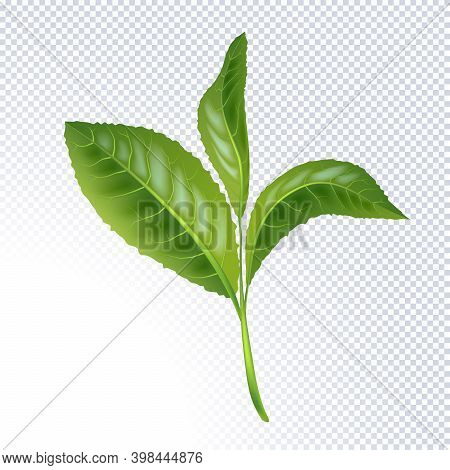 Realistic Green Tea Leaves Isolated On White Background. The Premium Green Tea For Good Health. Elem