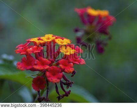 Macro Photography Of A Common Lantana Flowers, Captured In A Field Near The Town Of Gachantiva, In T