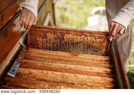 Hands Of Beekeeper Pulls Out From The Hive A Wooden Frame With Honeycomb. Collect Honey. Beekeeping