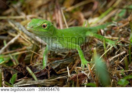 Anolis Biporcatus - Neotropical Green Anole Or Giant Green Anole, Species Of Lizard, Reptile Found I