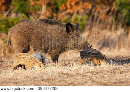 Wild Boar Mother With Piglets Standing On Dry Meadow