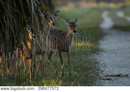 Whitetail Deer At The Arthur R Marshall Wildlife Refuge In South Florida