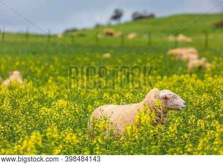 Sheep Grazing On Green Pastrures And Among The Golden Canola