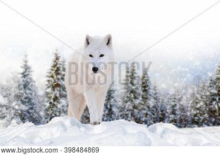 Close Beautiful Wild Arctic Wolf On Snow. Wildlife Scene On Nature