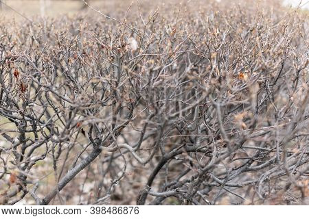 Thorny Branches Of Trimmed Bushes Without Leaves In Winter Or Autumn. Trimmed Shrub In Winter. A Pla