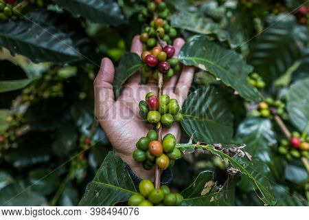 Hand Farmer Picking And Showing Coffee Bean In Coffee Agriculture .