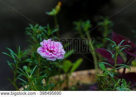 Portulaca Grandiflora Flower In The Summber Garden
