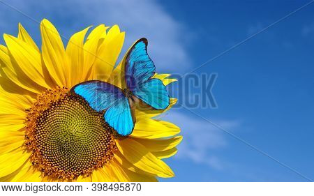 Bright Blue Morpho Butterfly Sitting On A Sunflower Against A Blue Sky. Butterfly On A Flower. Copy