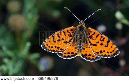 Colorful Red Butterfly On A Meadow.  Brush-footed Butterflies. Copy Spaces.