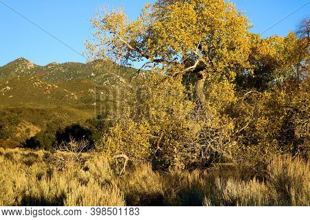 Arid Grasslands Besides A Cottonwood Tree Changing Colors During Autumn Surrounded By Barren Mountai