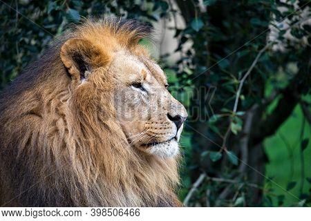 Head Portrait Of Majestic Male Of Southwest African Lion Or Katanga Lion, Panthera Leo Bleyenberghi