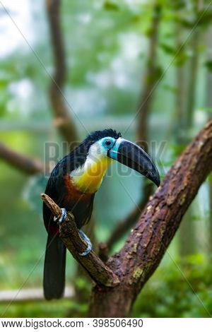 Bird Hannel-billed Toucan (ramphastos Vitellinus) Stands On The Tree, The Channel-billed Is Brightly