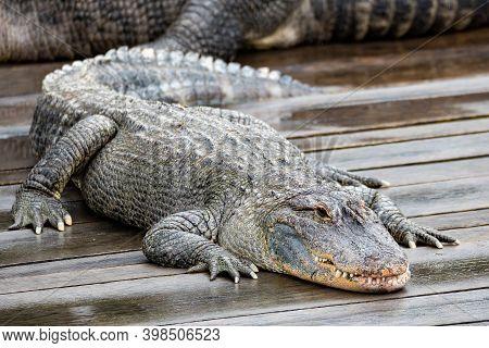 Large Menacing Danger Reptile, Big American Alligator (alligator Mississippiensis)
