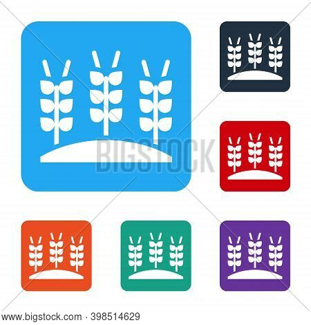 White Cereals Set With Rice, Wheat, Corn, Oats, Rye, Barley Icon Isolated On White Background. Ears