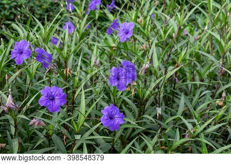 Natural Floral Texture Of The Lilac Mexican Petunia (ruellia Simplex) Flowers. Flowering Ornamental