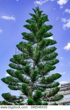 Tall Araucaria Heterophylla Pine Isolated On Blue Sky Background. Exotic Coniferous Tree Outdoors In