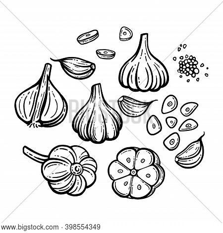 Garlic Sketch. Chopped Garlic. Vector Sketch Isolated Background. With Layers.