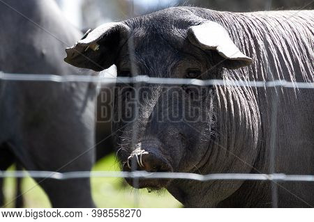 Iberian Pig Behind Barbed Wire In The Foreground
