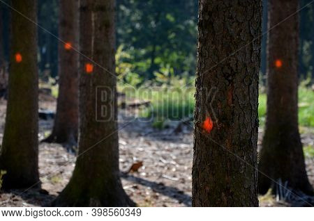 Deforestation Due To Bark Beetle Calamity, Natural Woodpecker Protection Has Failed And Mining Machi