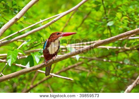 White-throated Kingfisher bird in Thailand
