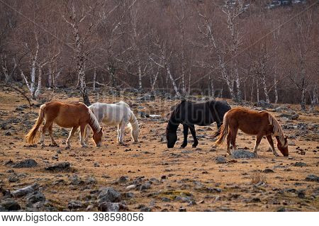 Russia. Mountain Altai. Horses Of The Hardy Altai Breed Graze Peacefully In The Stone Steppes With S