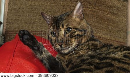 Beautiful Feline Cat Licking Himself At Home. The Bengal Cat Washes, Licks A Paw.