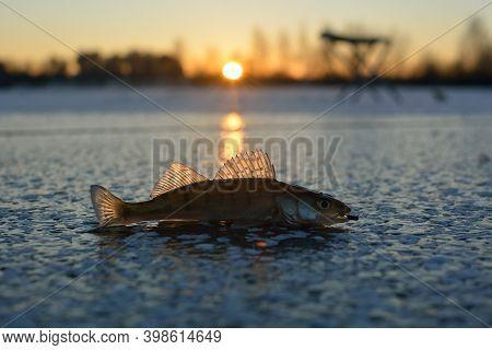 Winter Ice Fishing, Walleye Fishing On A Jig.