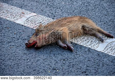 A Young Wild Boar Knocked Over And Run Over On A Highway Road At The Curb Line A Little Blood From I