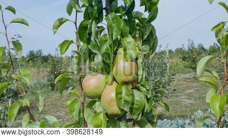 Big Pear Fruits On A Branch. Pear Fruit Hanging From The Branches Of A Pear Tree. Pear Variety Maria