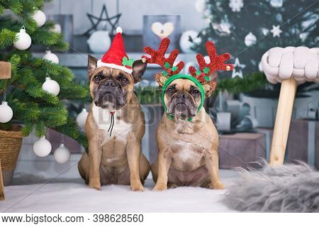 Christmas Dogs. Pair Of French Bulldogs Dressed Up With Festive Santa Hat And Reindeer Antler Headba