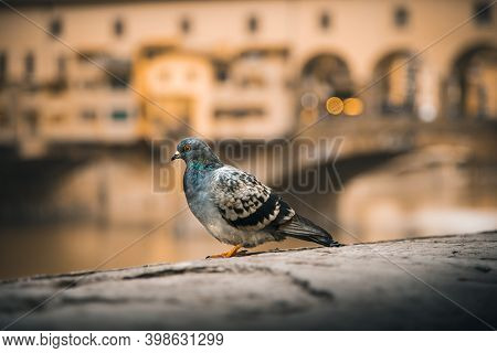 Dove Sitting On A Wall In Front Of The Vecchio Bridge In Florence Italy. High Quality Photo