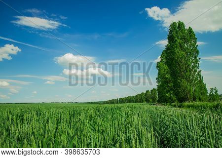 Summer Green Landscape Nature Photography Of Wheat Cereal Field And High Trees Alley On Blue Sky Cle