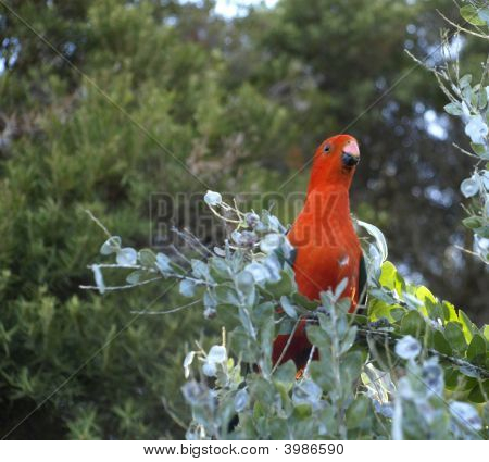 Australian King Parrot