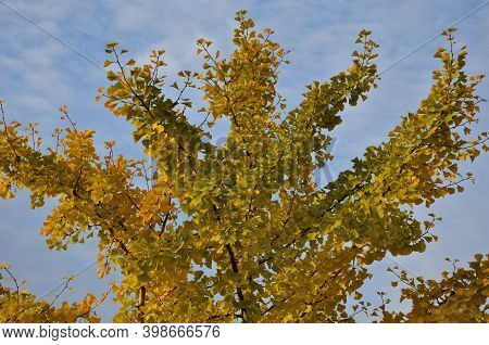 Petiolate Leaves Grow In Bundles On Strongly Shortened Twigs. The Leaf Blade Is Flat, Wedge-shaped,