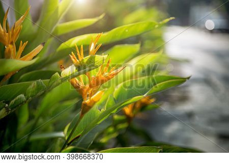 Close Up Heliconia Flower In Morning Time After Raining