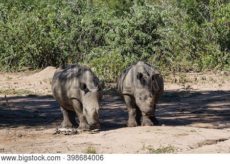 Pair Of Young, Endangered Southern White Rhinoceros (ceratotherium Simum Simum) Standing Together In
