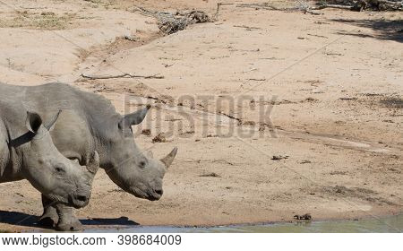Pair Of Young, Endangered Southern White Rhinoceros (ceratotherium Simum Simum) Heads At A Waterhole
