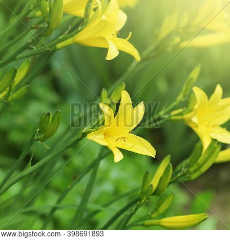 Branch Of Flower Hemerocallis Lilioasphodelus Also Called Lemon Lily, Yellow Daylily, Hemerocallis F