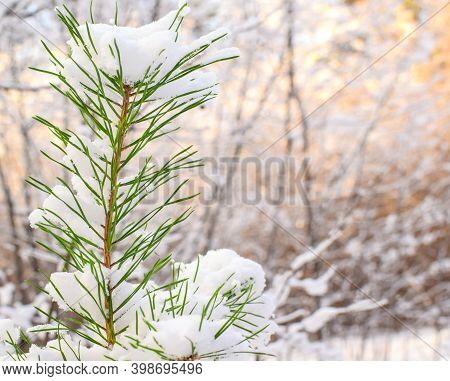 Pine Needles Are Covered With Snow, Against The Backdrop Of A Blurred Sunset. Merry Christmas And Ha