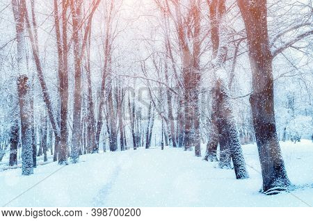 Christmas background. Winter Christmas landscape, snowy Christmas trees along the winter park alley under dense snowfall, winter Christmas snowy scene in soft tones