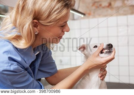 Cropped Shot Of A Cute Jack Russel Terrier Getting Teeth Examination By Female Veterinarian. Pet Car