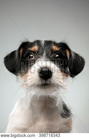 Childhood. Close Up Jack Russell Terrier Little Dog Posing. Cute Playful Doggy Or Pet Playing On Gra