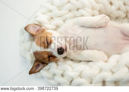 Cute And Little Doggy Posing Cheerful In Big Comfortable Plaid. Cute Playful Brown White Doggy Or Pe