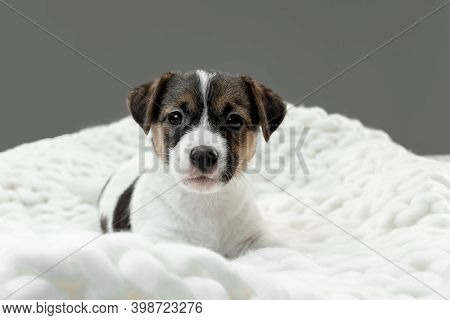 Little Young Dog Posing Serious. Cute Playful Brown White Doggy Or Pet Lying Down In Plaid On Gray S