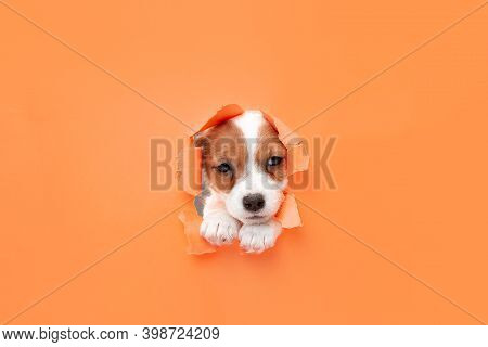 Cute And Little Doggy Running Breakthrough Orange Studio Background Purposeful And Inspired, Attente