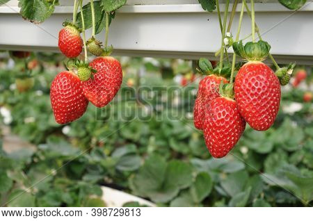 The Beautiful Strawberry In Greenhouse, Horticulture, Agricultural