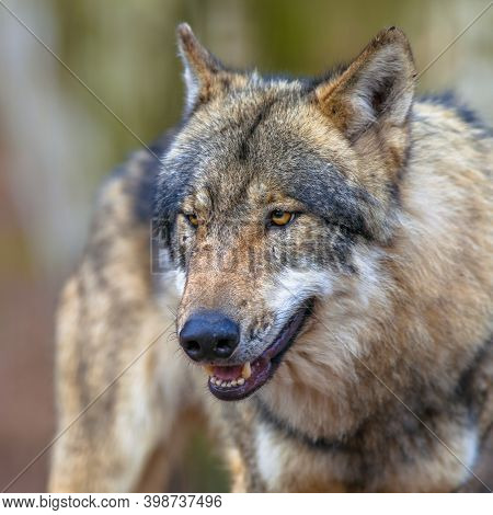 Mean Dangerous Eurasian Gray Wolf (canis Lupus Lupus) Looking For A Victim. It Is The Most Specialis