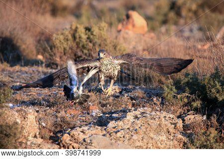 The Bonelli's Eagle (aquila Fasciata) Chasing Its Typical Prey - Bird, Pigeon. Hawk Eagle Chasing A