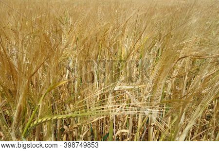 Agricultural Rye Filed Bacground. Seasonal View And Scene